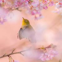 河津桜 3月9日 - この道は風なり