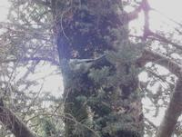 オナガ - 西多摩探鳥散歩