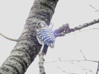 コゲラ - 西多摩探鳥散歩