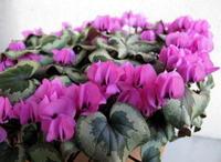 満開の原種シクラメン:コウム - リリ子の一坪ガーデン