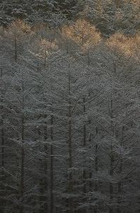 今日のカラマツ林 - 空ヤ畑ノコトバカリ