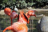 フラミンゴが沖縄に飛来しているとはねぇ - 動物園のど!