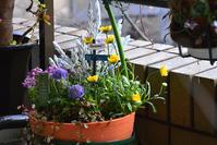 ベランダに春のお花がやってきました - 生きる歓び Plaisir de Vivre。人生はつらし、されど愉しく美しく