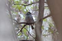 チョウゲンボウがスズメを狩る - 野鳥写真日記 自分用アーカイブズ