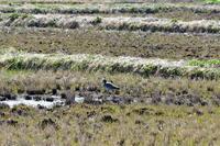沼川散策 その他の鳥さんたち - じいじとばあばのフォトライフ