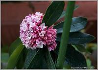 沈丁花と桜草 春の香りがいっぱい - 野鳥の素顔 <野鳥と・・・他、日々の出来事>