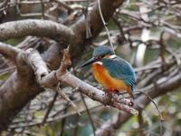舞岡公園の野鳥(カワセミ、ウグス、ヤマガラ、シジュウカラ、モズ、バン) - 花と葉っぱ
