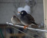 春間近、ツグミ、ヒヨドリ、ムクドリと雀の煙突風呂など♪ - 窓の向こうに