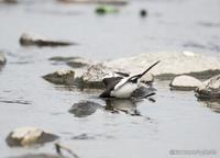 背黒鶺鴒 【川虫を獲るセグロセキレイ】 - kawanori-photo