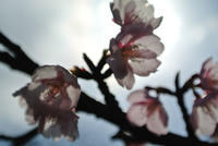 ■ 寒桜 - takeAwalk 遊歩道