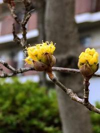山茱萸が咲き出す頃に (追記あり) - 花さんぽ~☆