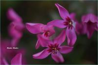 少し咲いていた芝桜。 - Season of petal