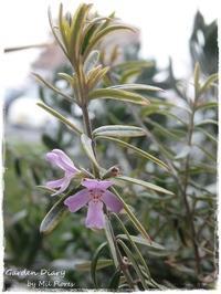 Westringia Variegata - Garden Diary