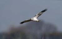 ハイイロチュウヒの飛翔 ⑤ - 私の鳥撮り散歩