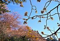 満作と初御代桜 - A  B  C