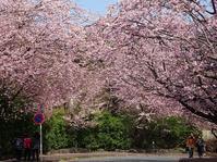 伊豆高原の桜 - 彩の気まぐれ写真