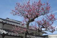 「梅の咲く私邸」 - hal@kyoto