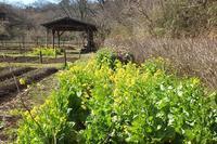 ■ 菜の花にミツバチ   17.3.14 - 舞岡公園の自然2