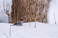 冬の北海道旅行 その25 (弟子屈 ウソ、エゾアカゲラ) - 夫婦でバードウォッチング