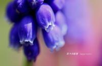 ムスカリ - 花々の記憶
