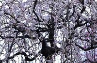 ホワイト しだれ梅、 - 花々の記憶