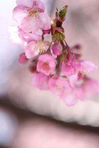 宇都宮の河津桜3 - モノクロポートレート写真館