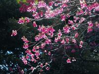 緋寒桜 - 光の音色を聞きながら Ⅱ