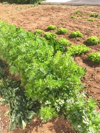 我が家の菜園日記 no.13 春菊大収穫中! - La Tavola Siciliana  ~美味しい&幸せなシチリアの食卓~