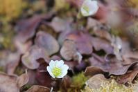 我家の花 - 団塊夫婦・山野草に魅せられて