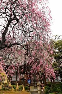 今年の梅ですが、咲いてないので猫を撮って帰ってきた日も(北区無量寺) - 旅プラスの日記