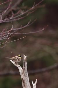 不漁続き…【ミヤマホオジロ・アトリ・エナガ・ルリビタキ・ホオジロ】 - 鳥観日和