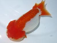3月15日新着金魚のご紹介です(T/M済) - フルタニ金魚倶楽部blog