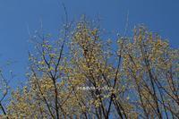 大きな木のサンシュユの花が可愛い!!! - 自然のキャンバス