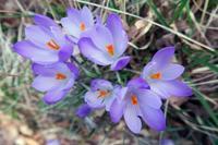 クロッカス・プリムラ花咲く春の山、ペルージャ - ペルージャ イタリア語・日本語教師 なおこのブログ - Fotoblog da Perugia