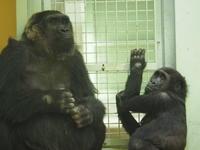 ゲンタロウにぴったりサイズのハンモック 京都市動物園2017/3/11 - ヒトのたぐい ゴリラと愉快な仲間たち