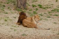 2017/02/27 ライオンとサーバル - 動物園に嵌り中