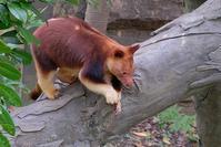 セスジキノボリカンガルー - 動物園に嵌り中
