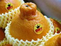 デコポン(肥後ポン) 柑橘王こと『デコポン』 おかげさまで大好評!今年はかなりのハイペースで出荷中です!! - FLCパートナーズストア