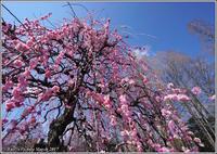 枝垂れ梅はやっぱり此処が一番 - 野鳥の素顔 <野鳥と・・・他、日々の出来事>