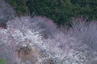 明日香・稲渕 梅園 - まほろば 写真俳句