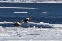 氷の上のオオワシ - 彩の国 夢見人のフォト日記