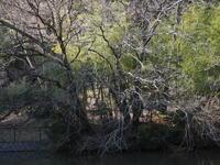 樹 - エンジェルの画日記・音楽の散歩道