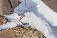 冬の北海道旅行 その26 (弟子屈 シロハラゴジュウカラ、ハシブトガラ、エゾコゲラ) - 夫婦でバードウォッチング