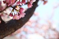 宇都宮の河津桜4   - モノクロポートレート写真館