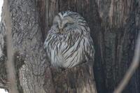 エゾフクロウ 瞑想中 - 今日の鳥さんⅡ