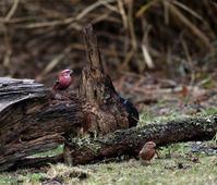オオマシコ、ツーショット他いろいろと(その2)・・・ - 一期一会の野鳥たち