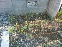 ジャーマンアイリスの芽? - うちの庭の備忘録 green's garden