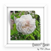 Mme.Plantier - Garden Diary