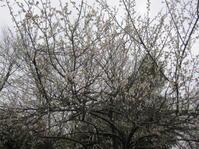 飛梅伝説 - 花の自由旋律