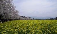 桜の開花が気になる頃です~その4 - おでかけメモランダム☆鹿児島